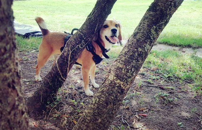 chien-pensionnaire-beagle-pension-canine