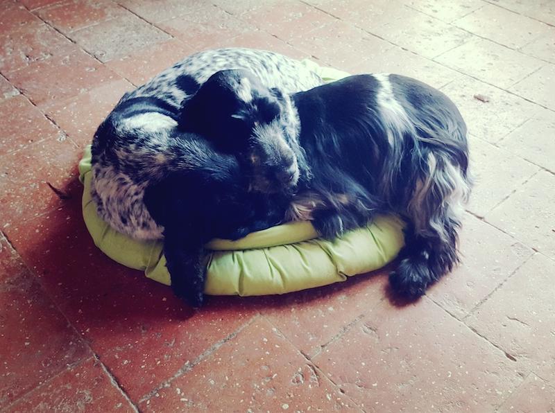 cocker-pension-canine-dormir-sieste