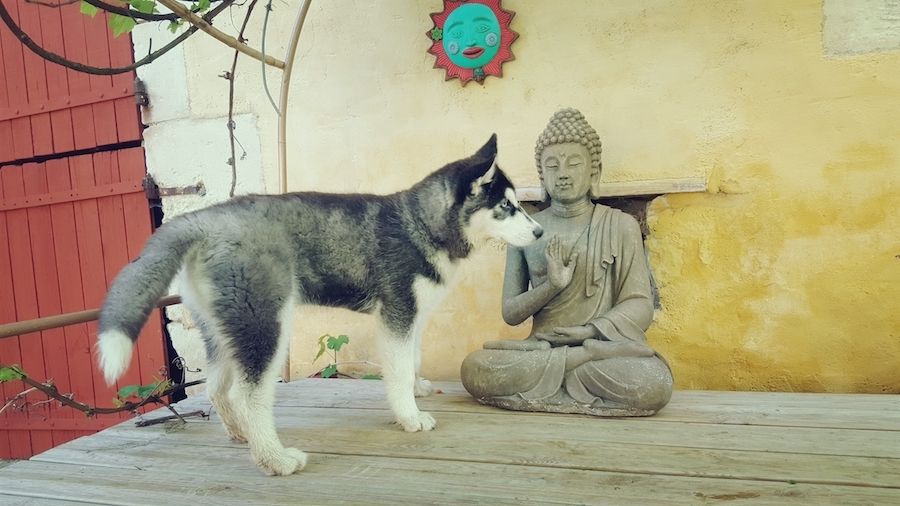 husky chien messardiere