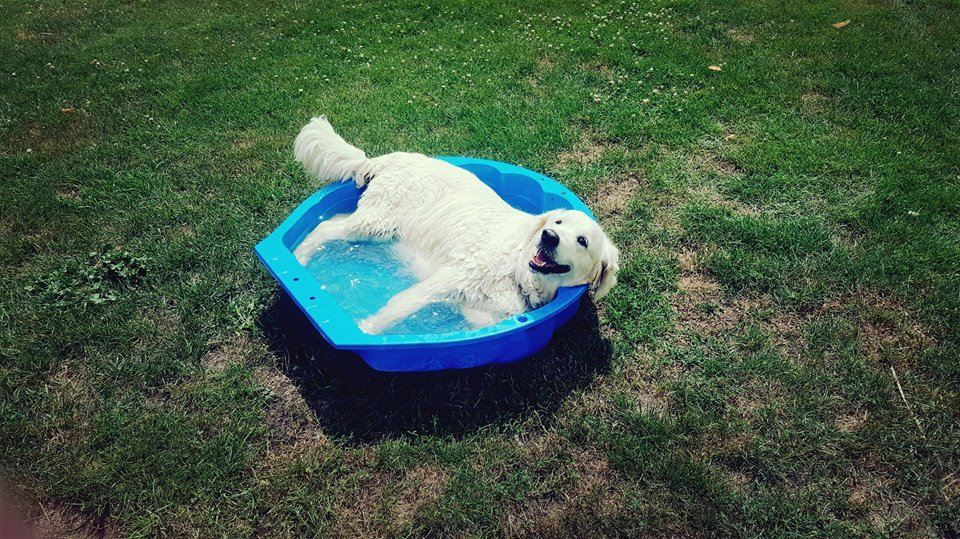 golden retriewer piscine