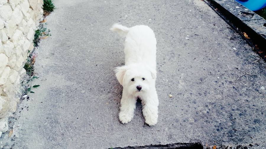 chien bichon messardiere